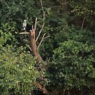Great Blue Heron in Tree by Thomas Murphy