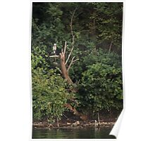 Great Blue Heron in Tree Poster