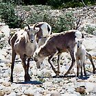 Family of Stone Sheep by Yukondick