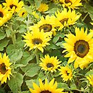 Sunflowers by photecstasy