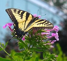 Beautiful Swallowtail by MarianBendeth
