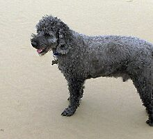 Miniature Poodle by Nikki25