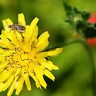 Chinch Bug on a Dandelion Flower by TheBluePlanet