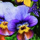 Pansies in HDR by Tori Snow