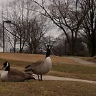 Canadian Geese  by jeffreynelsd