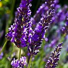 Summer Lavender by DavidHornchurch