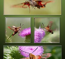 The Tango of the Hummingbird Moth by DigitallyStill