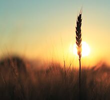 Sunset Before Harvest by Phillip Cullinane
