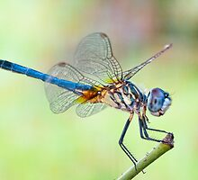 Blue Dasher Dragonfly in August by Bonnie T.  Barry