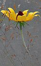 Black-Eyed-Susan -- Meadow Grass by T.J. Martin