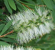 White Bottle Brush by celiapoon