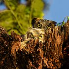 Mother and Baby Great Horned Owls by Paul Wolf