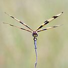 Wonderful World of Dragonflies by pieceoflace photography by pieceoflace