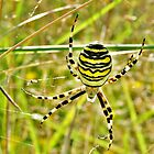 Argiope bruennichi, or the wasp spider by Johan  Nijenhuis