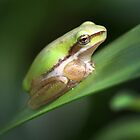 Graceful Tree Green Frog by Nikki25
