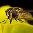 Hoverfly lapping up pollen by Andrew Widdowson