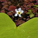 Native bees at work in a little water lily by Sue Downey