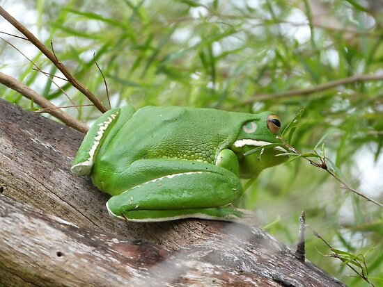 a very large white lipped green tree frog by Sue Downey