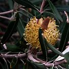 Banksia,Sussex Inlet by waxyfrog