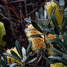Banksia Bunch. by waxyfrog