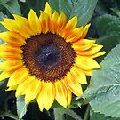 singular sunflower sensation by Linda  Makiej