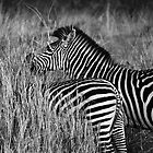 Animalia II - Crawshay's Zebra by Oliver Parish