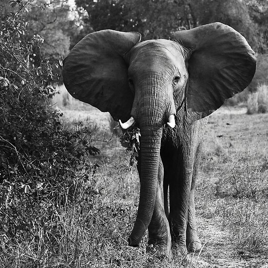 Animalia I - African Savannah Elephant by Oliver Parish