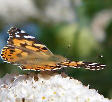 Butterfly on Buddleia  by LoneAngel