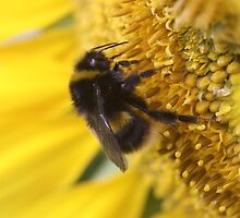 Buzzy bumble bee by chrisblackwell29