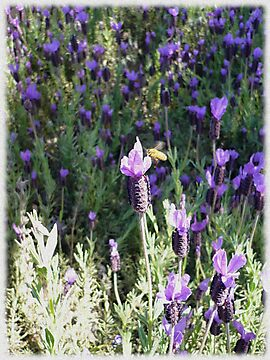 Beeutiful Lavender by Jess Meacham