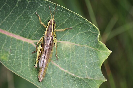 Grasshopper by theartguy
