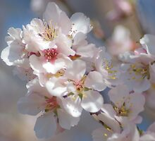 Almond Blossom 2 by garts