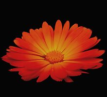 Marigold on black by pantherart