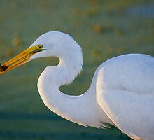 Great Egret and Black Fish by Paul Wolf
