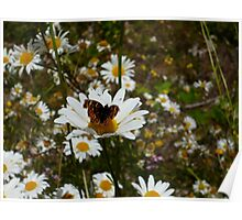 Butterfly and Daisies Poster