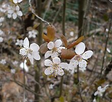 Wild Cherry Blossoms by Jess Meacham