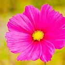 Pink Cosmos by Margaret S Sweeny