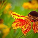 Heleniums Flammenrad by Margaret S Sweeny