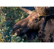 Moose portrait Photographic Print