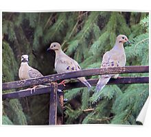 Mourning Dove Family. Poster