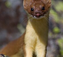 Long-tailed Weasel by William C. Gladish
