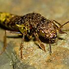 Gold &amp; Brown Rove Beetle by William C. Gladish