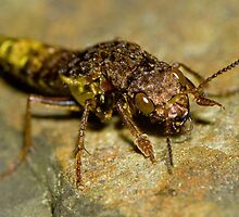 Gold & Brown Rove Beetle by William C. Gladish