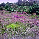 Heathland-Arne Dorset by naturelover