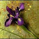 Purple Iris by anamae22