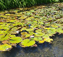 Lily Pond by krleong