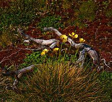 Granite Buttercups, Snowy Mountains, NSW, Australia by DBigwood