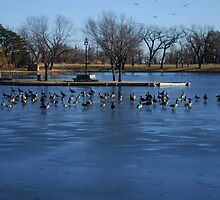 Canadian Geese  Resting on Blue Ice by ROBERTDBROZEK