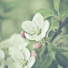 Apple Blossom Baby by BobbiFox