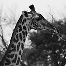 Animalia IV - Thornicroft Giraffe by Oliver Parish